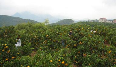 丹江口习家店柑桔园