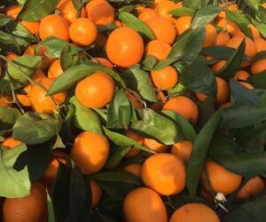 武当蜜橘特早熟蜜橘