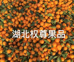 武当柑橘|武当蜜橘|武当蜜桔
