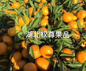 丹江口市习家店镇蜜橘
