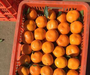 均县镇桔子|浪河镇柑橘|武当山蜜橘|龙山镇柑桔