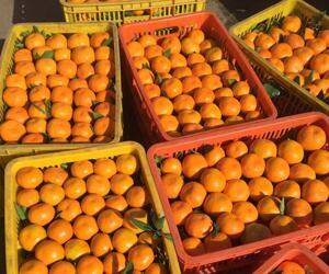 官山镇柑橘|白杨坪橘子|土关垭镇柑桔|丁家营镇桔子